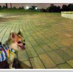 夏の犬散歩の熱中症対策。冷やすアイテムが欠かせない!