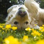 犬の花粉症はくしゃみや鼻水だけじゃない?こんな症状に要注意!