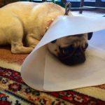 犬のマラセチア皮膚炎。犬がかゆがる原因は皮膚病の疑いあり?