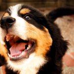 犬の声帯手術。費用や効果は?それでも愛犬と暮らしたいあなたへ